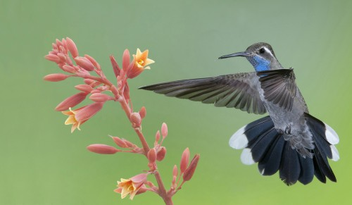 A male Blue-throated Hummingbird. Photo by David Powell