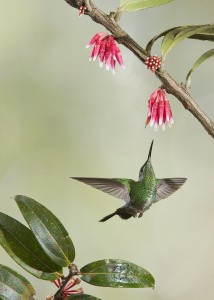 A metallic green Costa Rican hummingbird. Photo by David Powell
