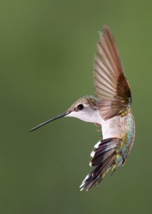 A female Broad-tailed Hummingbird. Photo by Doug Brown