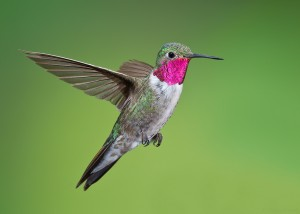 A male Broad-tailed Hummingbird. Photo by Doug Brown