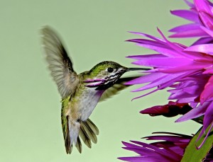 A male Calliope Hummingbird. Photo by David Powell