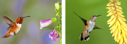 Male (left) and female (right) Rufous Hummingbirds. Photos by David Powell