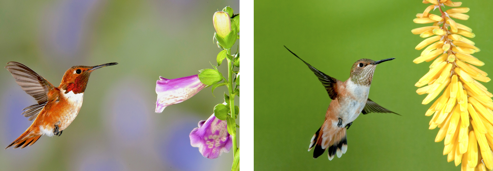 Rufous Hummingbird Identification All About Birds