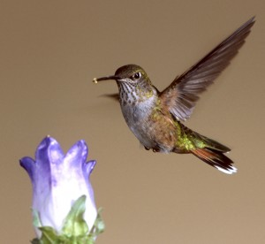 A feeding hummingbird with pollen on its beak. Photo by David Powell