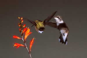 Two hummingbirds feeding. Photo by David Powell