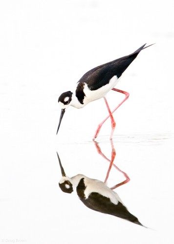 Black-necked Stilt.  Image by Doug Brown.