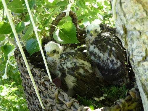 Re-nested Cooper's Hawk chicks.  Image by PNM Resources.