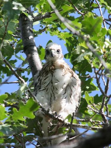 Cooper's Hawk Brancher.  Image by Sandy Skeba