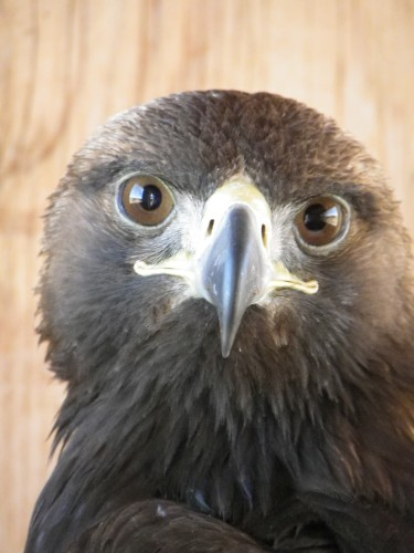 Rescued Golden Eagle. Image by Kerrin Grant, The Wildlife Center