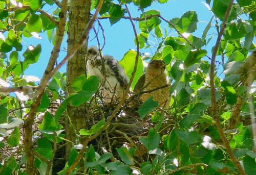 A typical Cooper's Hawk nest in the Albuquerque Bosque. Adults will prey on kestrels to feed their young.