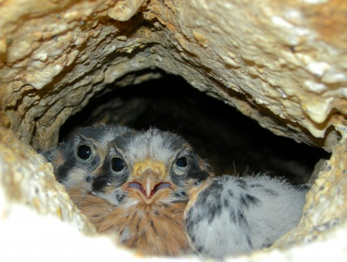 The target audience for our nest boxes: kestrel families! Here, two chicks near the El Segundo mine stare down the photographer, Ron Kellermueller.