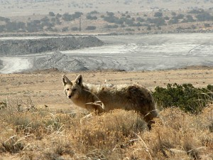 El Segundo mine is home to species such as this coyote. Photo by Mike Fugagli