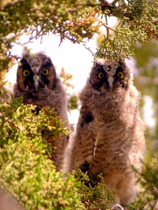 A pair of young Long-eared Owls, proof that they and a few other resourceful species can successfully nest in this harsh environment. Photo by Mike Fugagli
