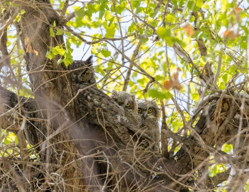 A wild Great Horned Owl and owlets captured by Larry Rimer