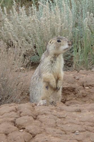 Gunnison's Prairie Dog Population Assessments /Hawks Aloft ...