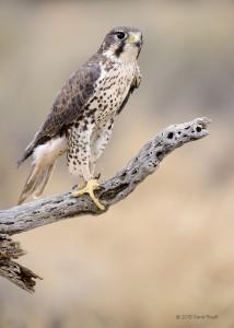 Prairie Falcon, photograph by David Powell