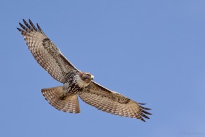 Juvenile Red-tailed Hawk, photograph by Doug Brown