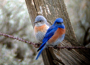 Western Bluebirds, photo courtesy of National Park Service