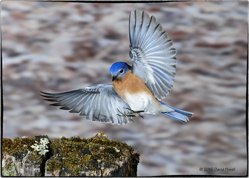 Eastern Bluebird by David Powell