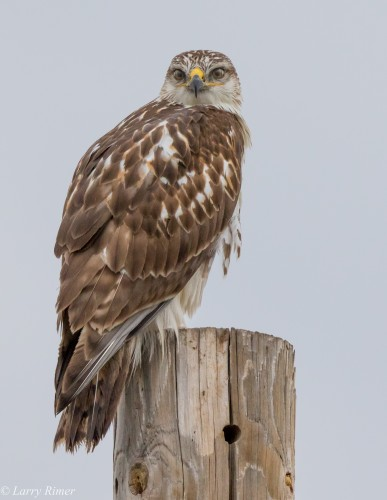 Ferruginous Hawk, Photograph by Larry Rimer