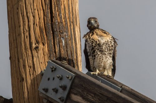 The hawk's sibling looks on. Photo by Tony Giancola.