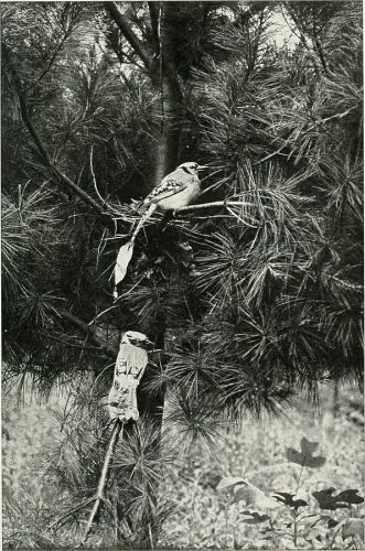 "Photograph by Frank Chapman, from his book ""Camps and Cruises of an American Ornithologist,"" published in 1908"