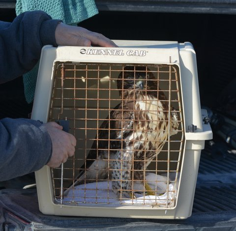 The rehabbed Red-tailed awaits release in Ontario, Canada. Photo by Geoff Carpentier.