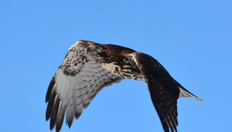 The young Red-tailed Hawk in flight after being released. Photo by Geoff Carpentier