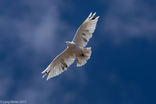 The leucistic Red-tailed Hawk spotted in Monte Vista, Colorado. Image by Larry Rimer