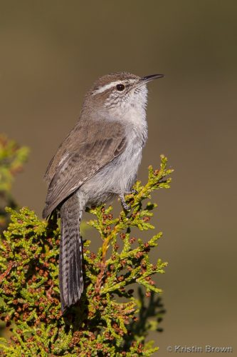 Bewick's Wren, Image by Kristin Brown