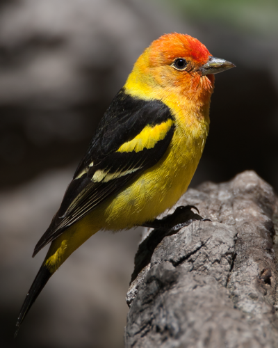 Western Tanager, Image by Doug Brown