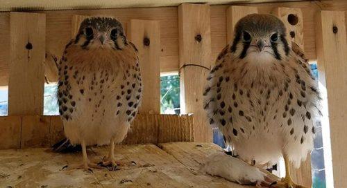 Baby Birds Hawks Aloft Inc